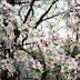 Tháng 3 hoa ban nở trắng rừng Tây Bắc