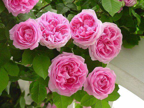 Rose Plants&Seeds