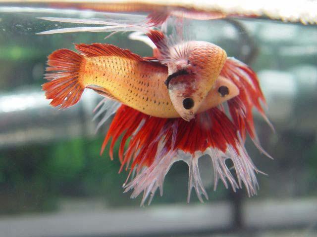 Peces bettas junio 2011 for Reproduccion en peces