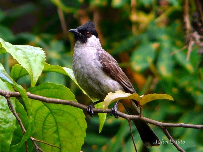 Lirik & Chord Lagu Burung Kutilang