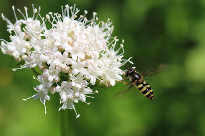 A Hoverfly – Not Annoying at All – Lands on Valerian