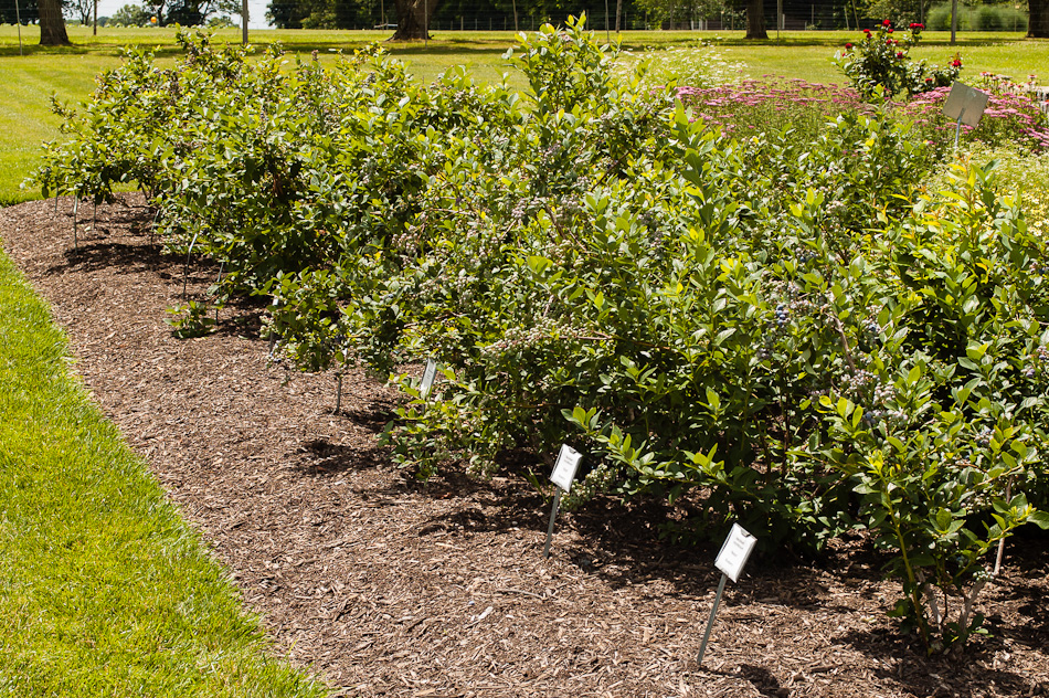 Home food gardens - Blueberry Varieties Melda C Snyder Teaching Garden Gallery