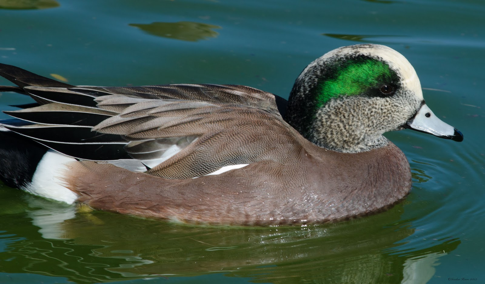 American wigeon - photo#12