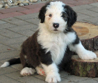 Old English Sheepdog Puppy Pictures