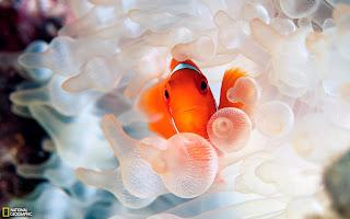 Clown Fish Ocean Underwater World HD Wallpaper