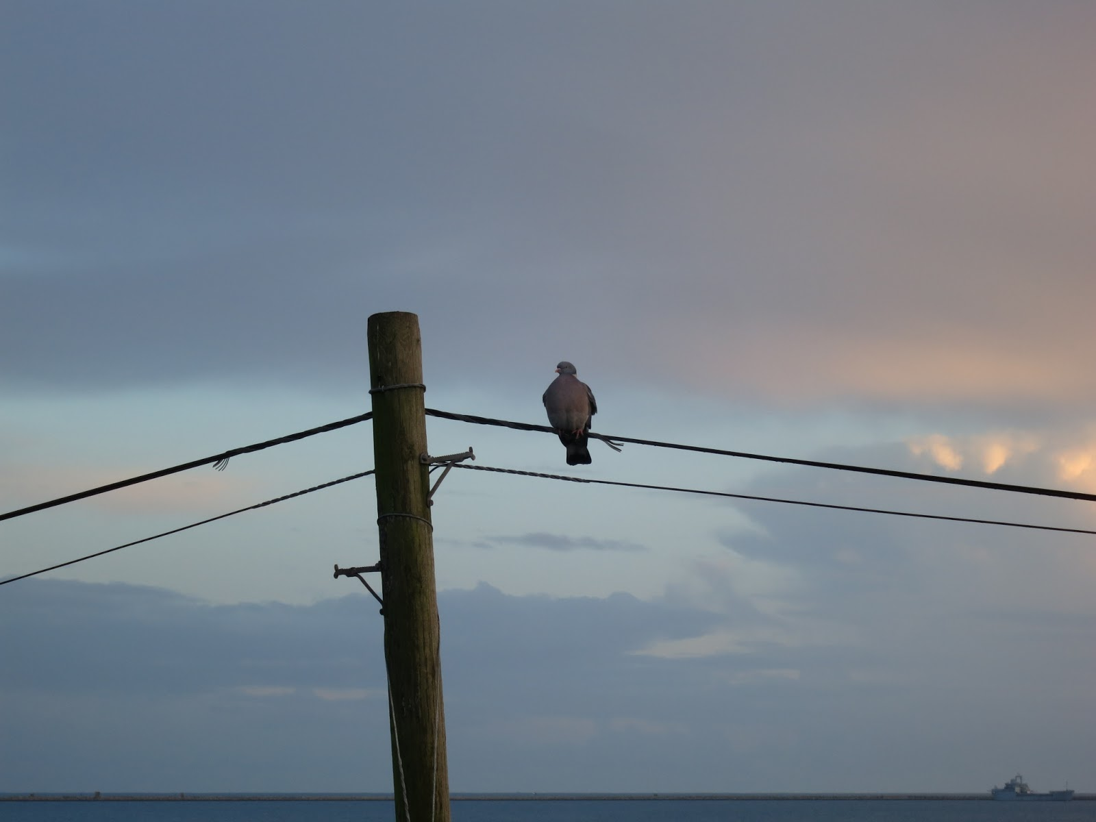 Collared Dove on a telegraph pole with sea and sky behind.