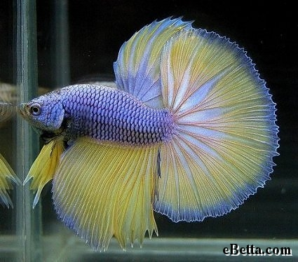 yellow indigo betta fish