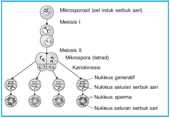 Gambar: Diagram mikrosporogenesis