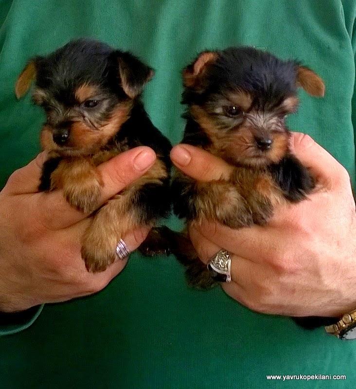 satilik yorkshire terrier yavruları
