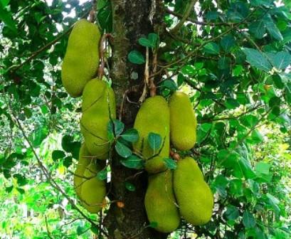 jackfruit%2Btree - Philippine Fruits - Philippine Photo Gallery