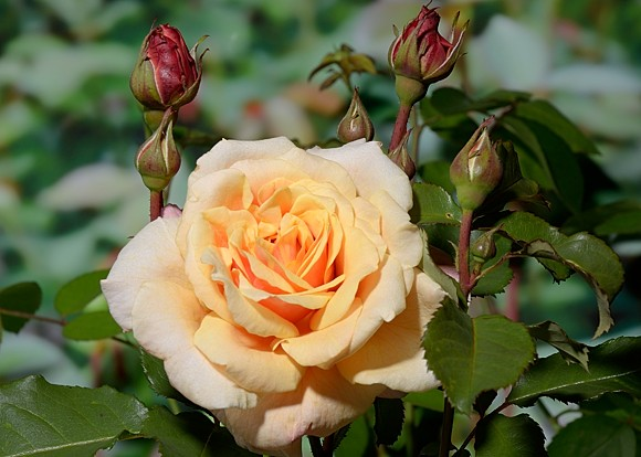 Caramella rose сорт розы купить саженцы фото
