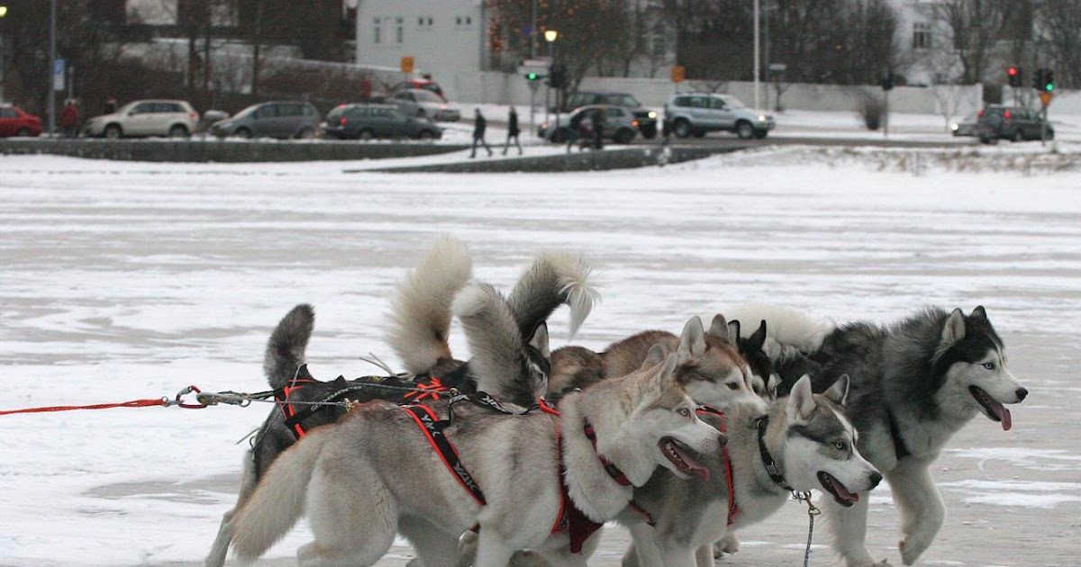 How Much Can A Sled Dog Pull