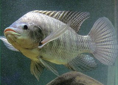 fish tilapia tilapia is a fish of the family cichlidae and a general