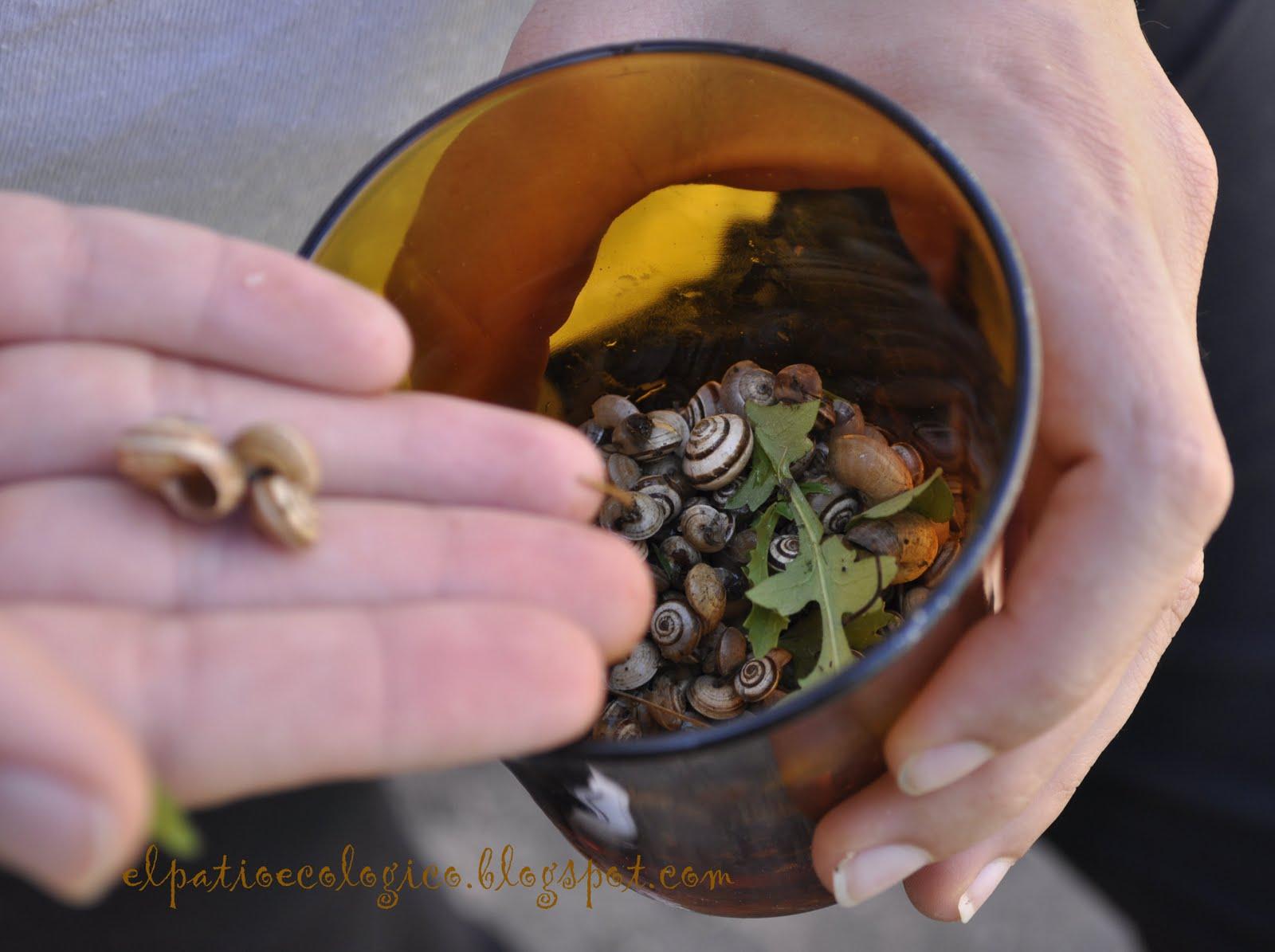 El patio ecol gico la invasi n de los caracoles for Caracoles de jardin que comen