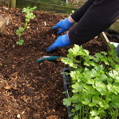planting celeriac - growourown.blogspot.com - an allotment blog
