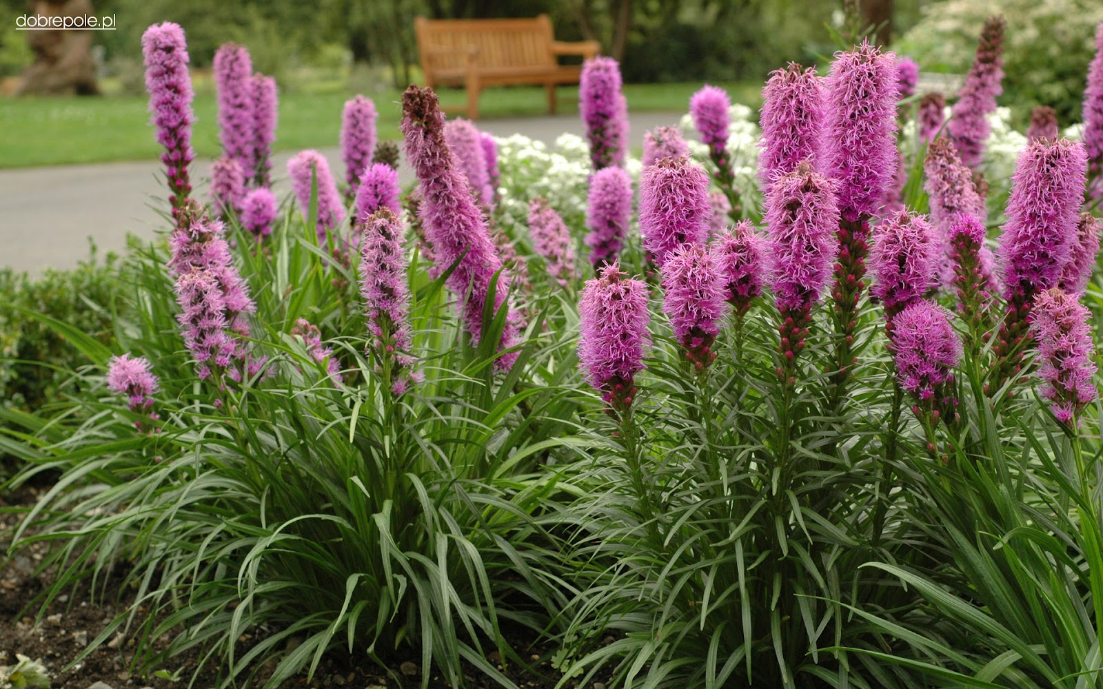 this is what inspires me mail order wish list liatris spicata mail order wish list liatris spicata