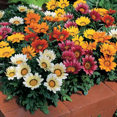 Piante e fiori gazania - Piante striscianti per scarpate ...