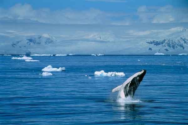 ballenas, Japón, Antártida,