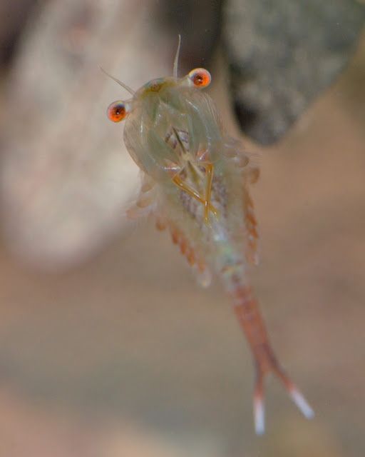 male fairy shrimp from vernal pool