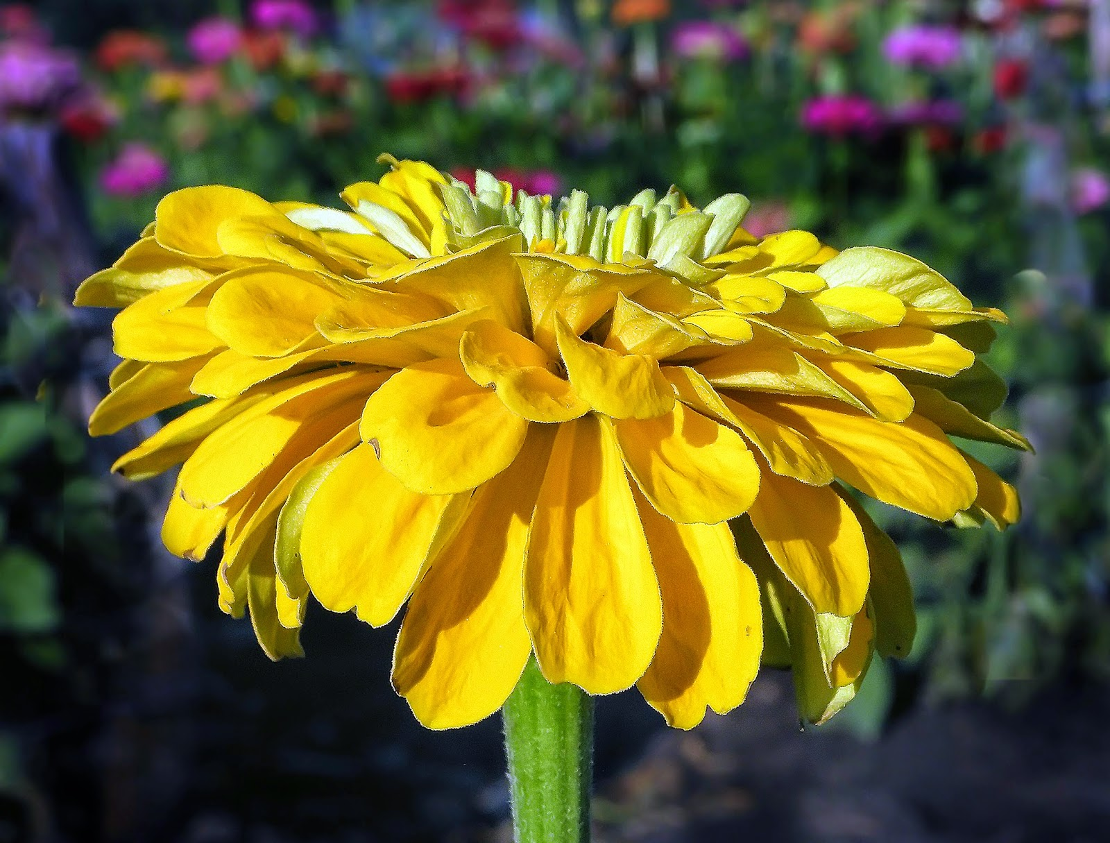 Esciencecommons How Zinnias Shaped A Budding Biologist And Other