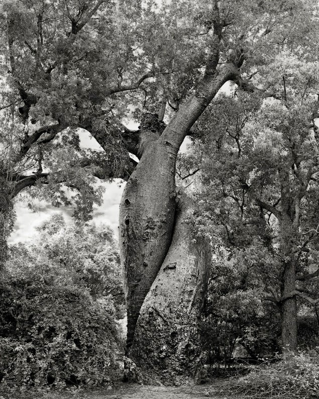 beth moon oldest living trees-15