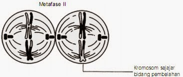Tahap metafase II