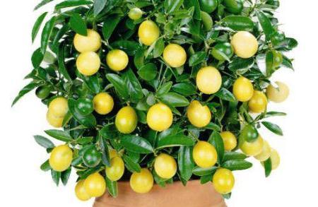 Pohon jeruk nipis