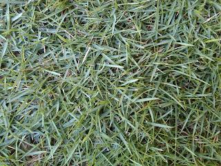 jual rumput gajah mini | rumput golf | rumput jepang | kucay mini sebagai pengganti rumput