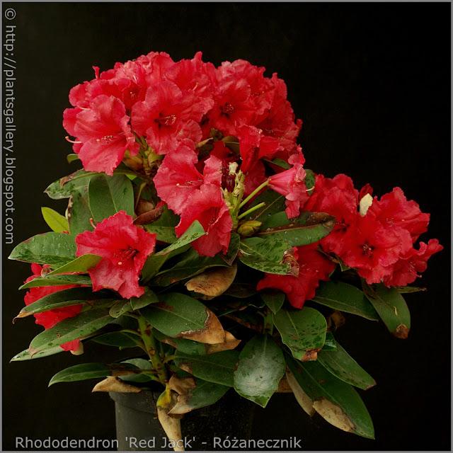 Rhododendron 'Red Jack' - Różanecznik 'Red Jack'  pokrój