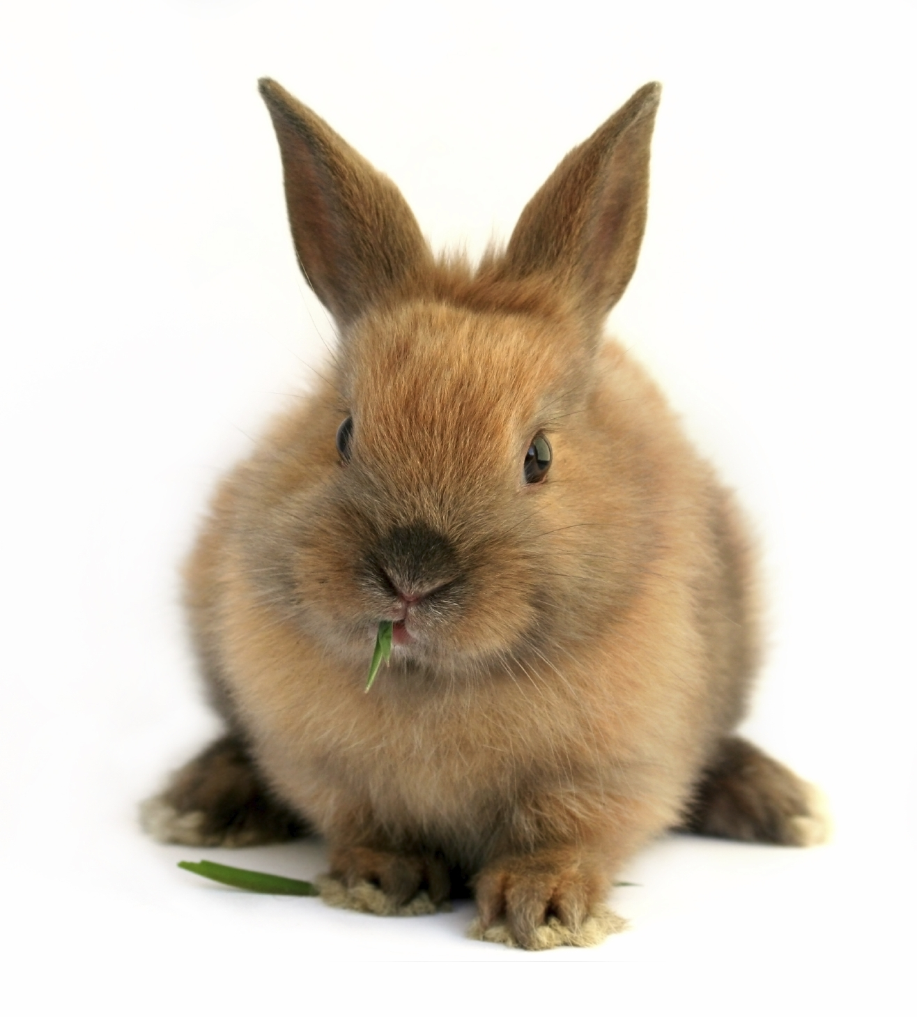Free brown bunnies videos