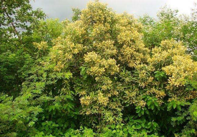 Árvores da Caatinga