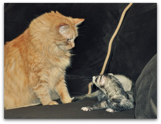 cat and ferret