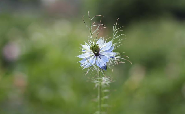 Love-in-a-Mist Flowers