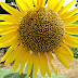 Sunflower-Bataatha-Agriculture Technology Park