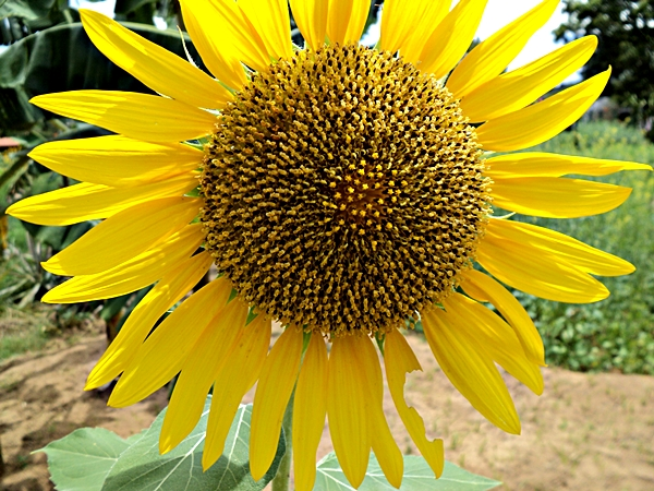 Sunflower-Bataatha-Agriculture Technology Park