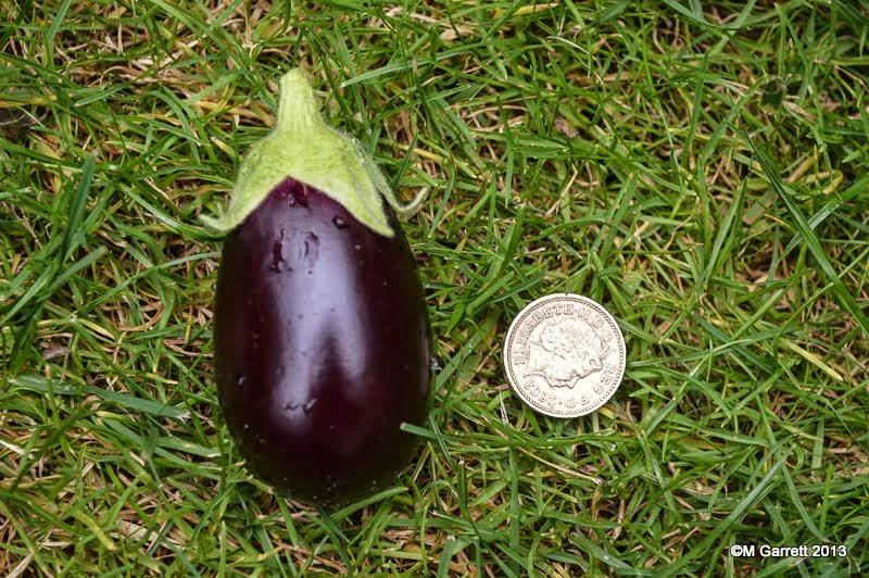 a gardener 39 s weather diary aubergine 1 v 0 tomato. Black Bedroom Furniture Sets. Home Design Ideas