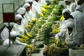 Un nuevo mercado se abre para el espárrago que se produce en Lambayeque