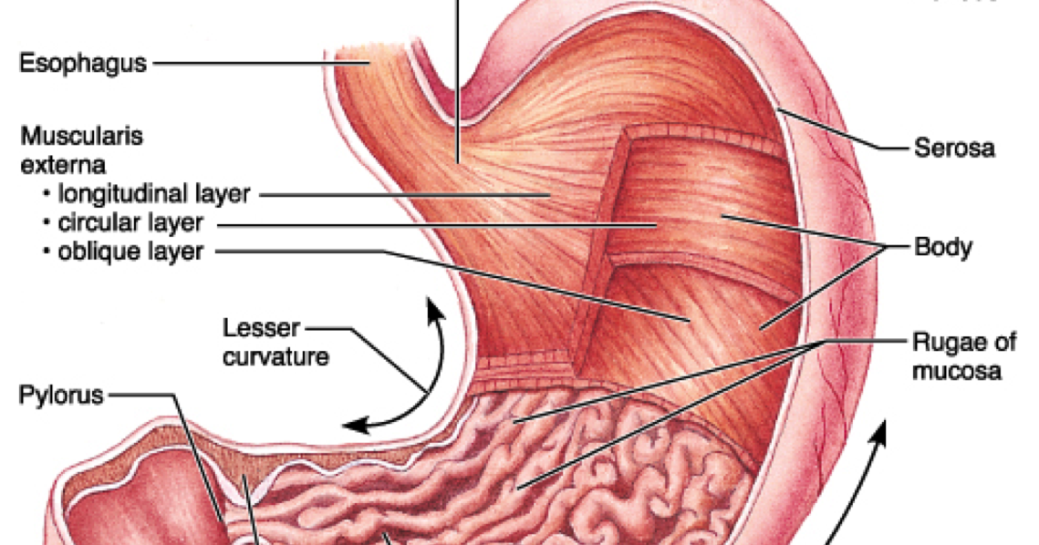 Interesting Facts About Stomach Did You Know That