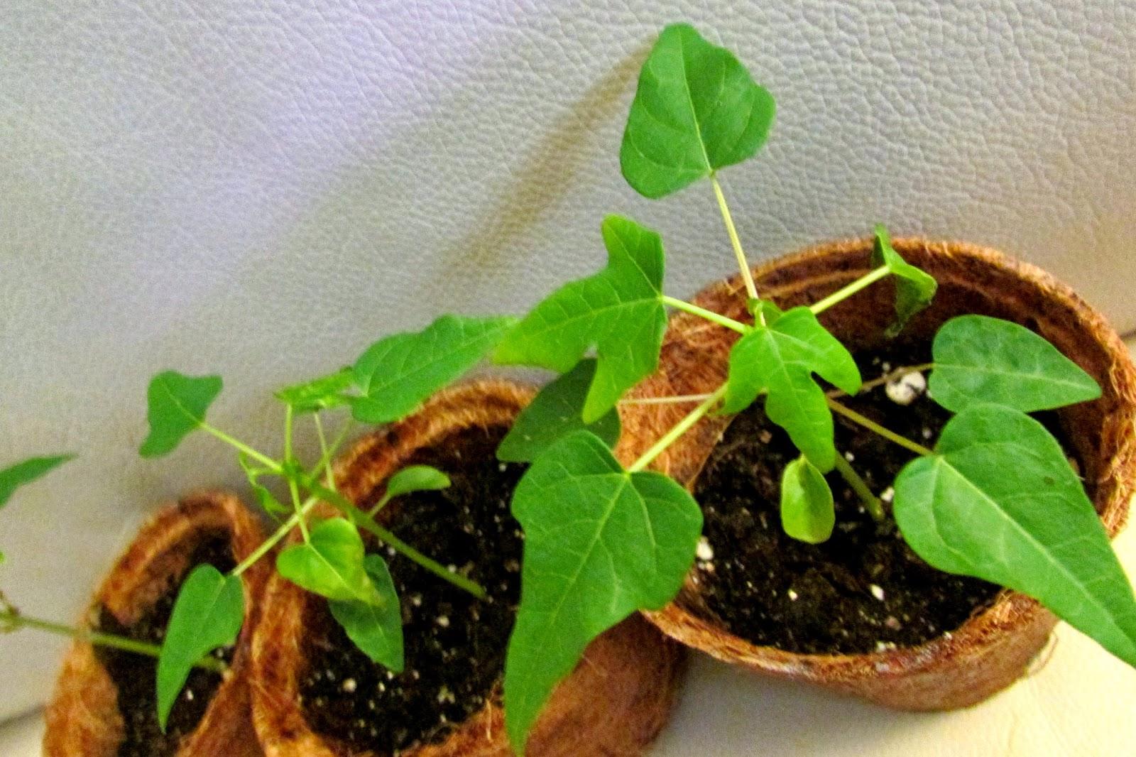 Папайя выращивание в домашних условиях из семян, посадка и уход