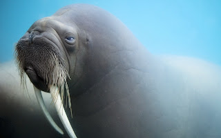 Walrus Tusks Whiskers Muzzle HD Wallpaper