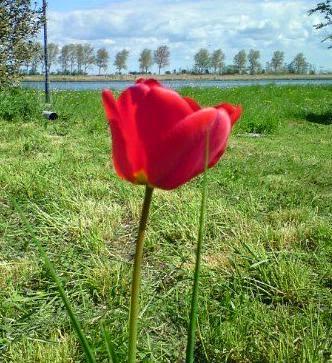 Rød tulipan