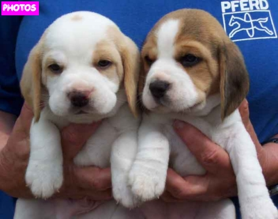 Newborn Beagle Puppies | Beagle Puppies