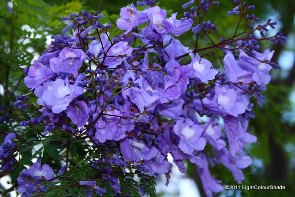 Jacaranda flowers close-up
