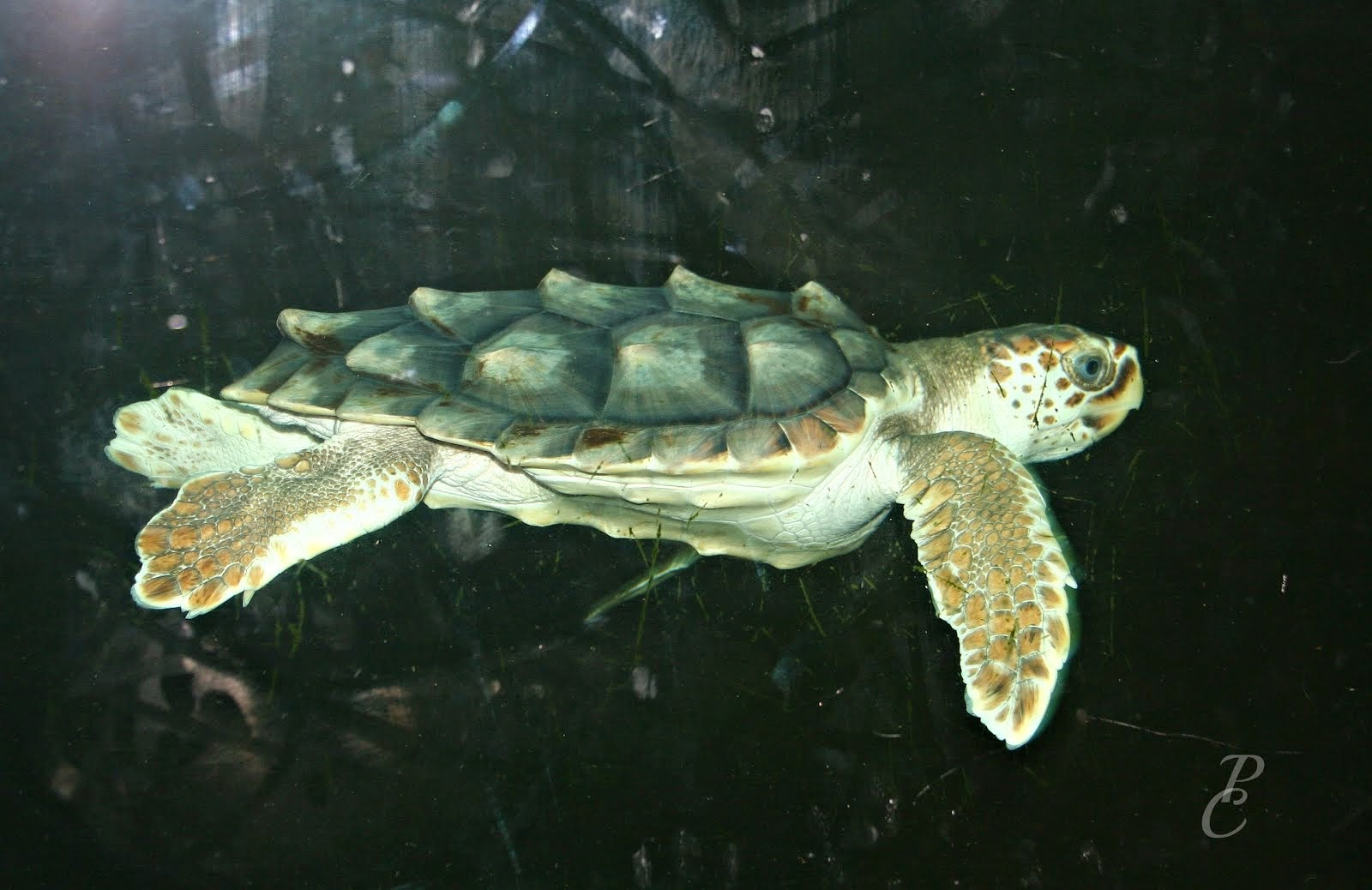 Sea TurtleTybee Island Marine Science Center.