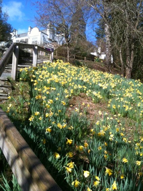 Daffodils at Brockhole