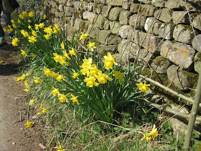 Daffodils by the road in Grassington