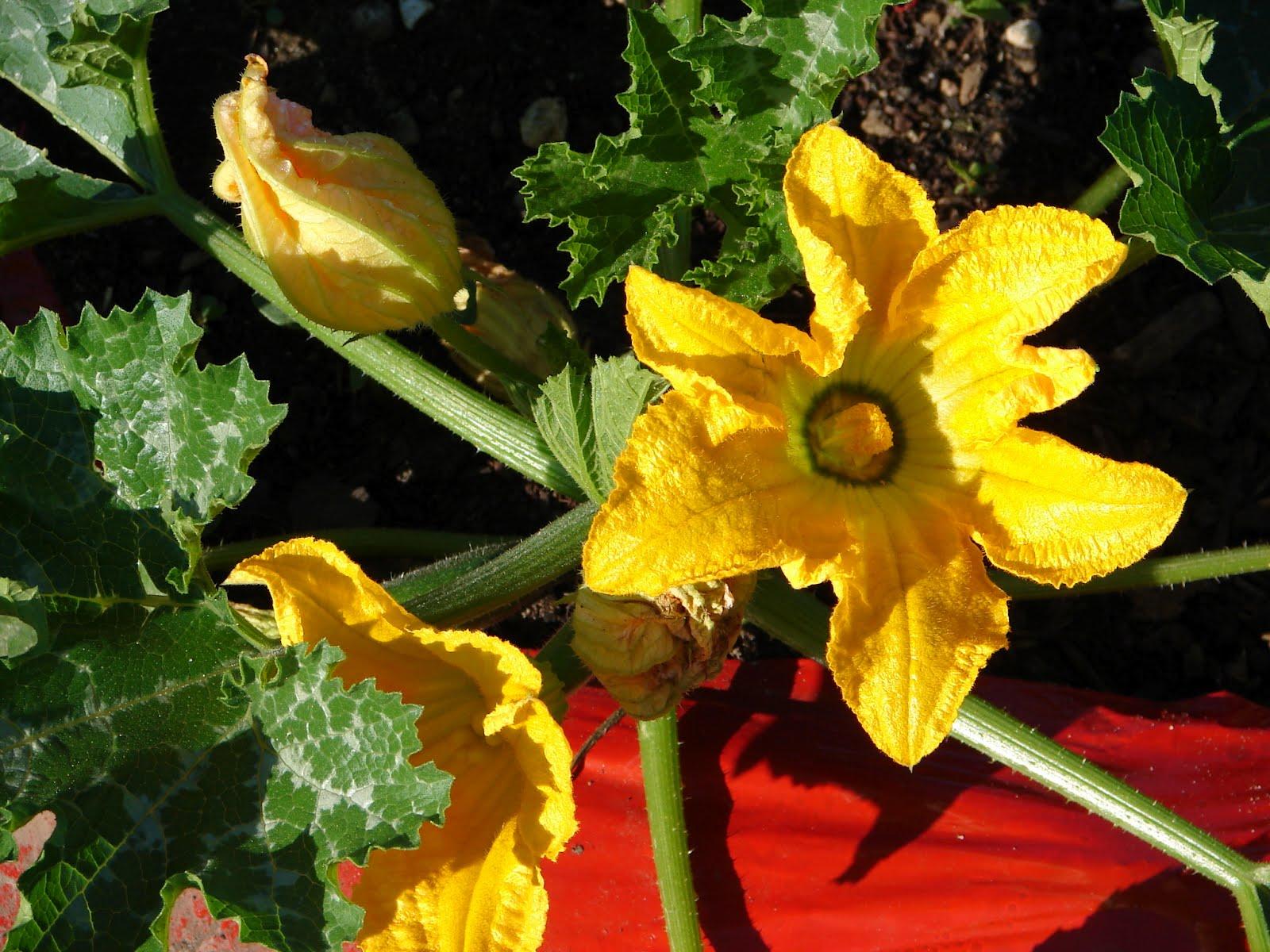 e Love Farm Zucchini flowers