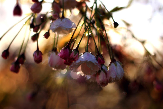 beautiful blossoming cherry trees, raindrops and golden sunlight