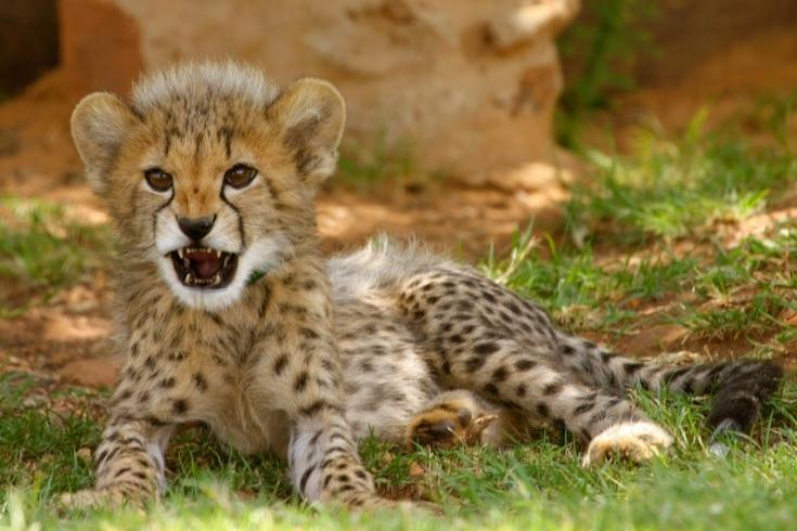 Cheetah adaptations - photo#23