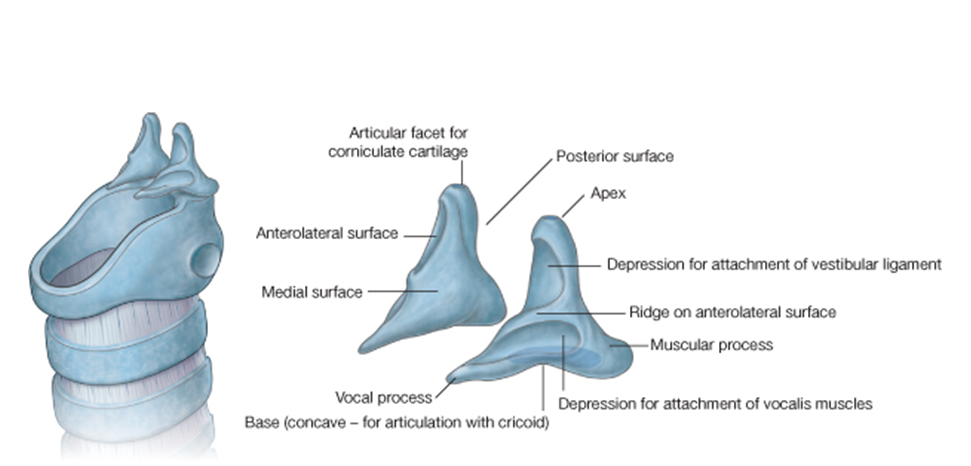 Corniculate Cartilage Function With Corniculate Cartilage